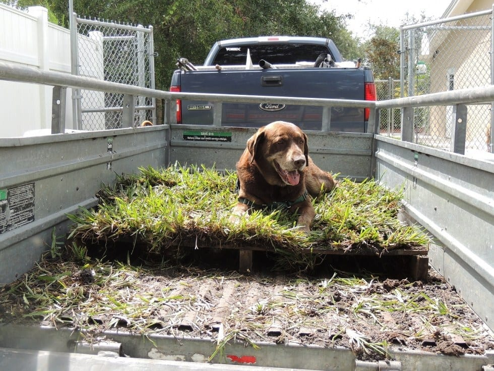 Dog Laying On Sod