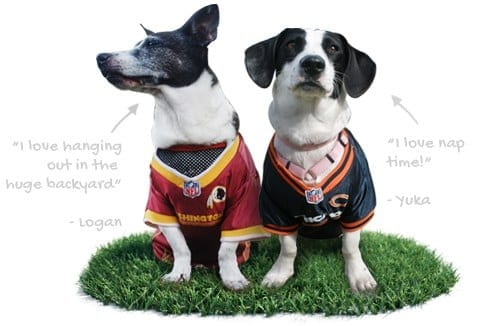 Two Dogs With Football Jerseys On