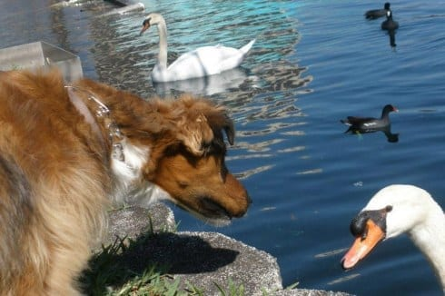 Dog And Swan Together